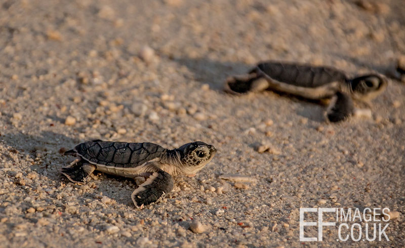 Baby Green Turtle Hatchlings On Sand