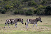 Burchell's Zebra, Equus burchelli, Plettenberg Bay, South Africa