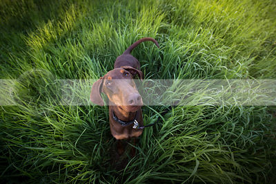 happy red and tan doberman dog staring upward from grasses