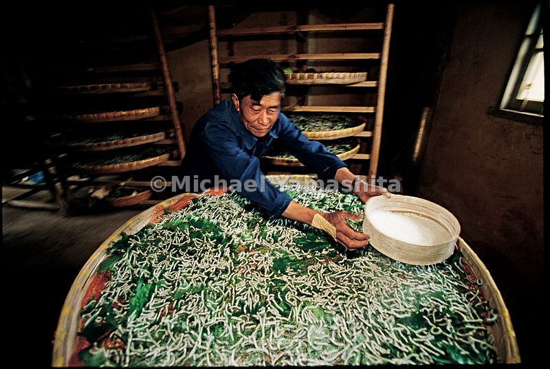 A silk farmer spreads lime over worms feeding on mulberry leaves.