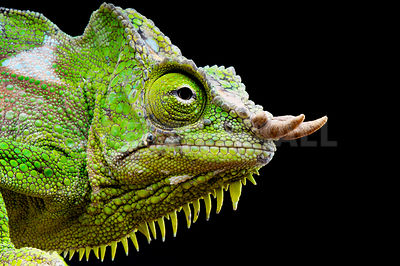Four-horned chameleon (Trioceros quadricornis) photos