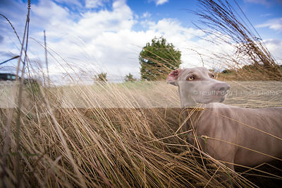 wideangle stock image of weimaraner in windy grassy field