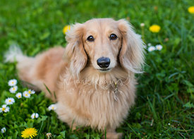 Sad Looking Tan Dachshund sitting on Grass