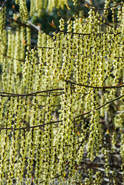 Stachyurus praecox, AGM. Sir Harold Hillier Gardens/Hampshire County Council, Romsey, Hants, UK
