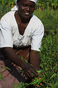 African woman picking chillies, which are used for cooking and as an organic insectcide on crops, Mbale, eastern Uganda Africa