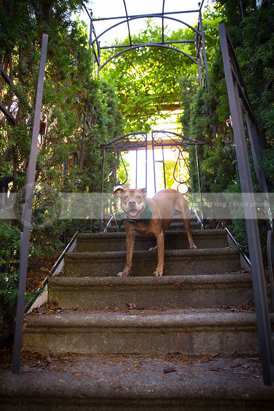 happy dog smiling on steps with urban wrought iron trellis