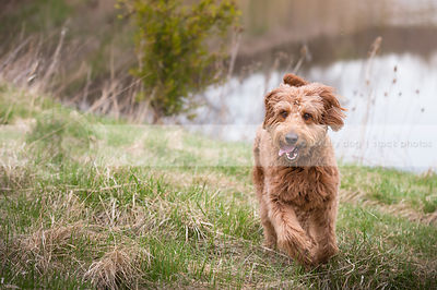 happy groomed golden doodle dog running in grass at lake