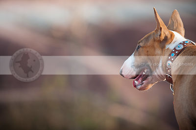 bull terrier dog with collar from behind with bokeh background