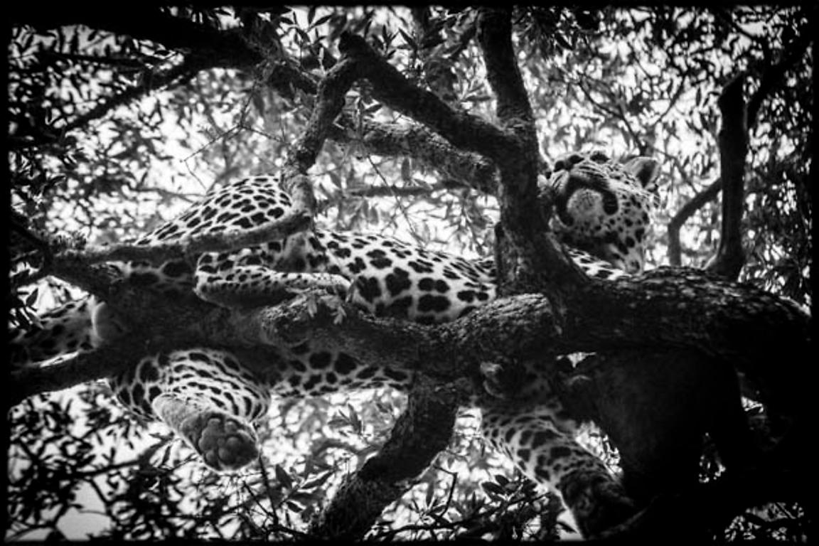 4737-Leopard_perched_in_a_tree_Laurent_Baheux
