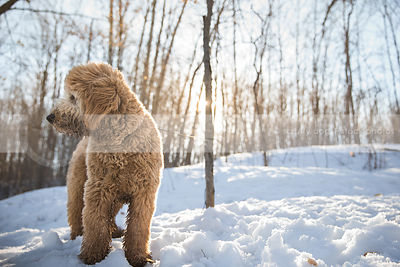 shaggy tan dog looking away in clearing with sunflare and snow