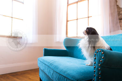 little longhaired dog sitting on blue settee by windows indoors
