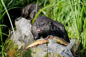 River Otter Pup Teasing