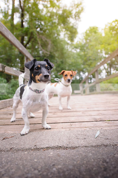 two small terrier dogs standing on a bridge
