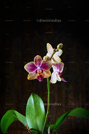 Lonely Orchid..