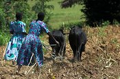 Rear view of women in fields driving plough pulled by two oxen,  Uganda Africa