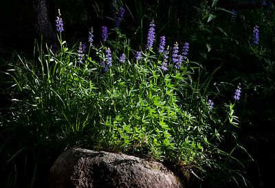 Lupine in Sunlight