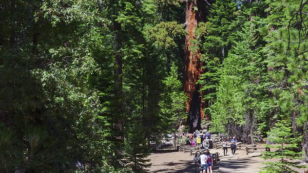 Medium Shot: Tourists, Pathways, & Redwood Trees