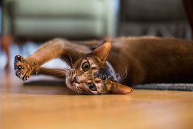 Abyssinian cat stretching paw