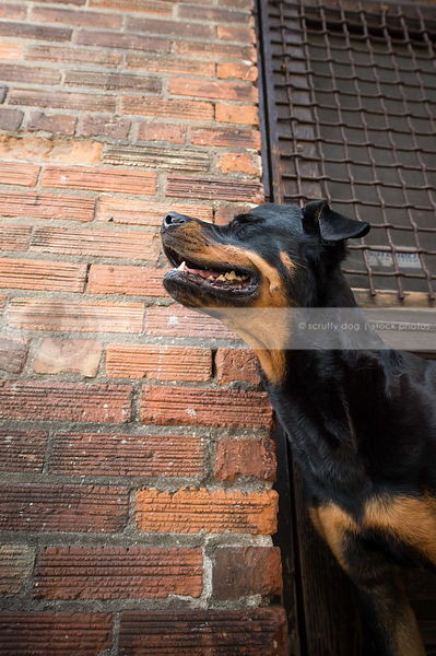 portrait of black and tan dog with eyes closed at urban brick wall