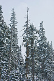 Subalpine forest during a snowstorm on Hurricane Ridge, Olympic National Park, Olympic Peninsula, Washington, USA, March, 2009_WA_8135