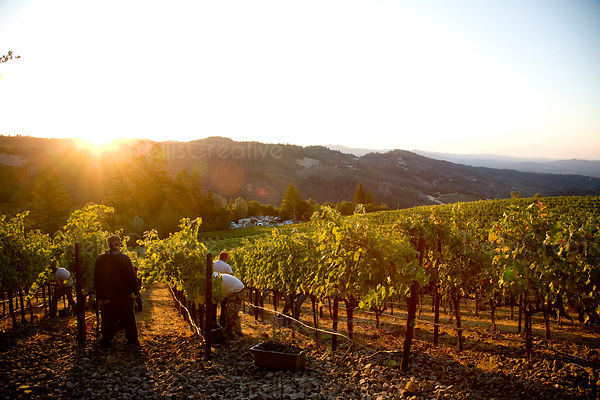 Latino workers harvest grapes on hillside vineyard at sunrise