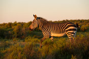 Cape mountain zebra, Equus zebra zebra, Bushmans Kloof Wilderness Reserve, South Africa