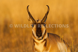 pronghorn_buck_golden_portrait2010_0003
