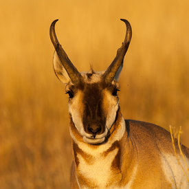 Pronghorn wildlife photos