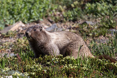 Hoary marmot (Marmota caligata), Mount Rainier National Park, Washington
