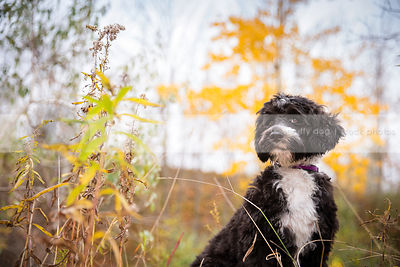 expressive curly coated puppy looking sideways in autumn