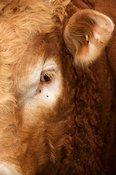 Close up of Limousin bulls head