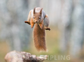 Red Squirrel Sciurus vulgaris leaping Cairngorms National Park Scotland winter