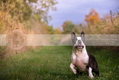 excited little black and white boston terrier dog in mowed grass