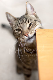 Tabby cat rubbing face and mouth on table