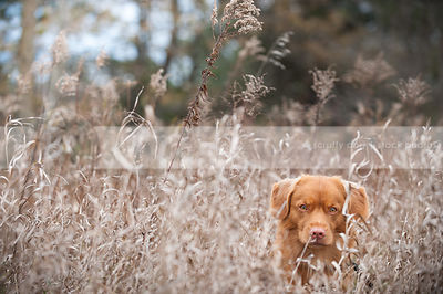 intense red dog hiding in dried grasses in natural setting