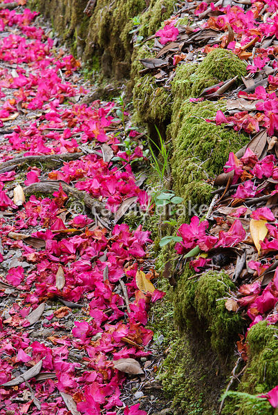 Magenta carpet of fallen petals from Rhododendron 'Cornish Red'. Lukesland, Harford, Ivybridge, Devon, UK