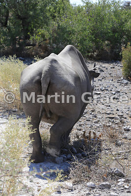 Black or Hook-Lipped Rhinoceros (Diceros bicornis), Etosha, Namibia