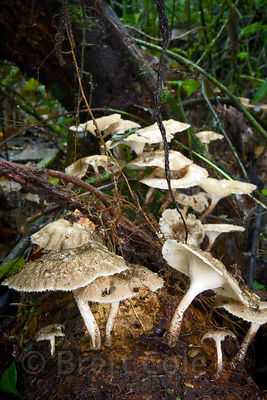 Abundant mushrooms on a decayed log in primary forest, Las Nubes, Costa Rica