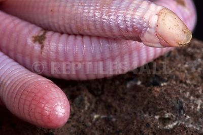Wedgesnouted Worm Lizard (Monopeltis decosteri)  photos
