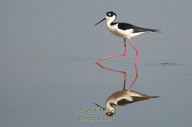 Black-necked Stilt (Published in Nature Photographer Magazine, Spring 2013)