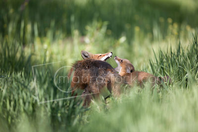 Red Fox_MG_3581