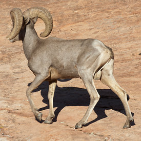Desert Bighorn wildlife photos