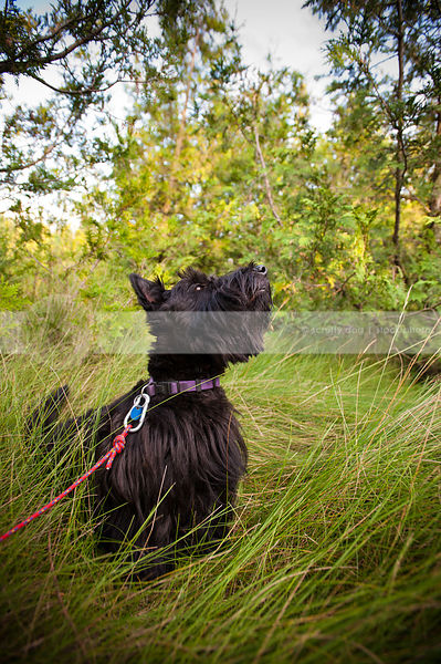 black scottish terrier dog looking skyward in grasses with cedar