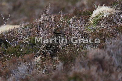 Red Grouse female (Lagopus lagopus scotica) showing her cryptic camouflage, June 9, Cairngorm, Scottish Highlands