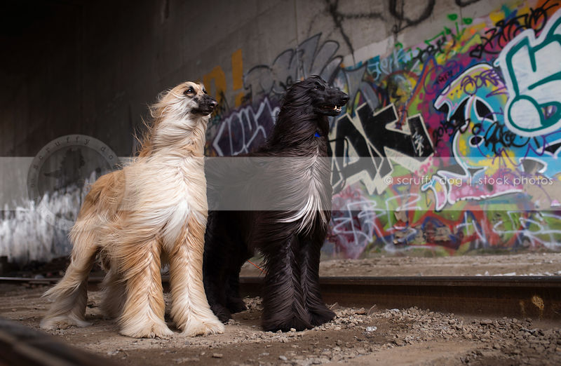 two windblown dogs standing at urban graffiti railway tracks