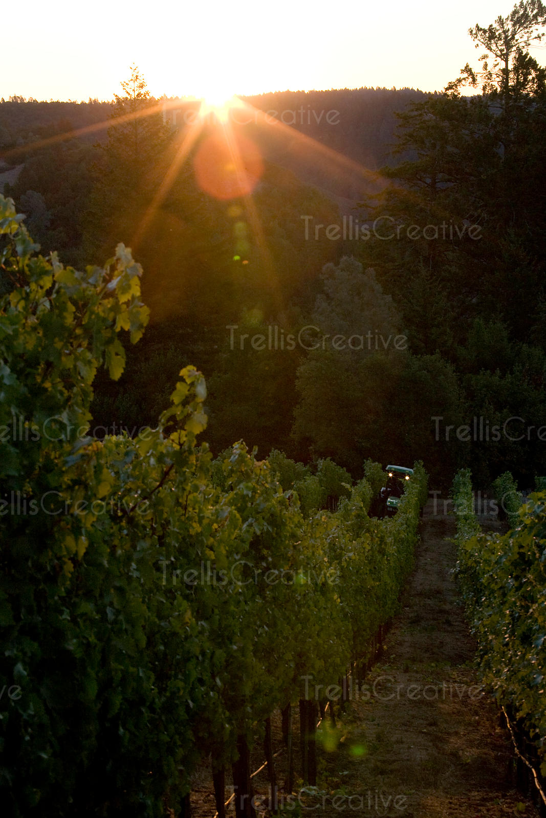 A tractor driving through rows of vines on a steep hillside vineyard