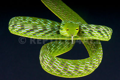Asian vine snake / Ahaetulla prasina photos