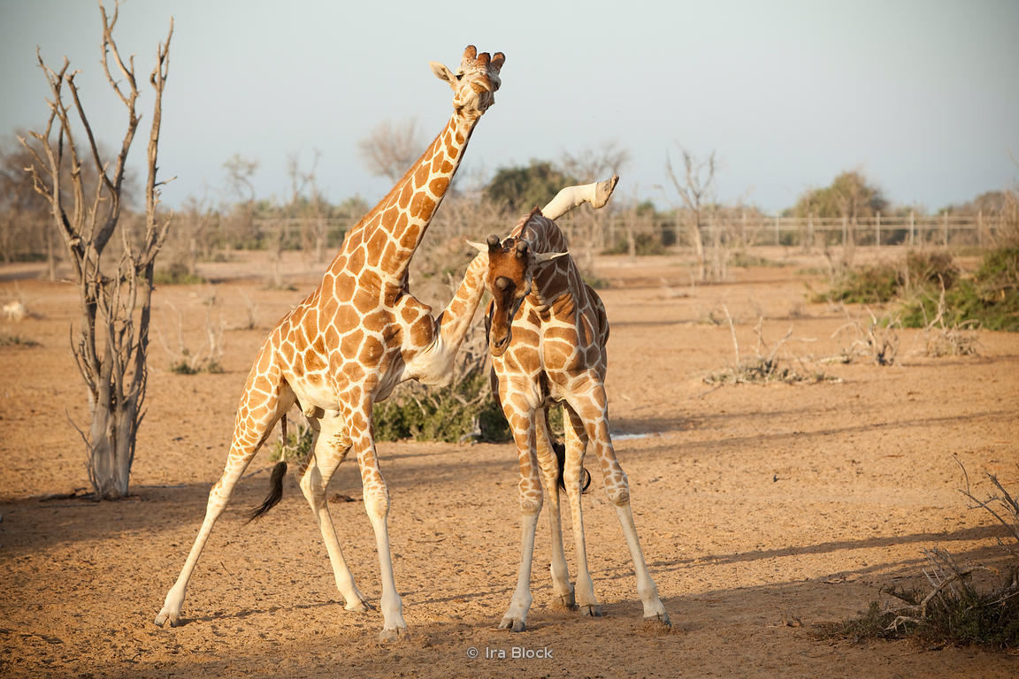 Reticulated giraffes at the wildlife reserve on Sir Bani Yas Island in Abu Dhabi.