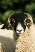 Close up of face of a swaledale ram lamb, a horned breed of sheep from the Yorkshire Dales, UK.