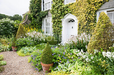 The Vean Garden is predominantly white, blue and gold, with clipped box and golden privet surrounded by lush perennials such as hardy geraniums, campanulas, Alchemilla mollis and ligularias plus foliage plants such as Carex elata 'Aurea' and silvery pulmonarias. Bosvigo, Truro, Cornwall, UK